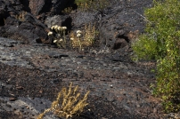 Vegetation Growing On Lava Flows