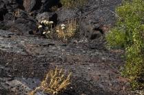 Vegetation Growing On Lava Flows