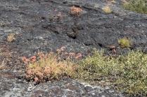 Bitterroot Growing On Lava Flow