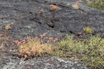Bitterroot Growing On Lava Flow