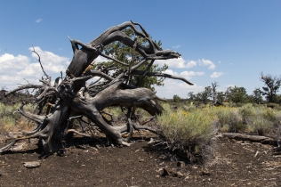 Sagebrush and Twisted Tree