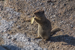 Potato Chip Eating Chipmunk