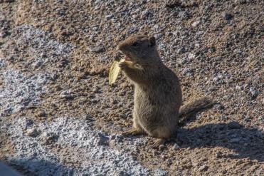 Potato Chip Eating Chipmunk