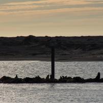 Seals at Sunset