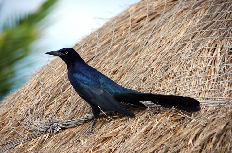 grackle-with-long-tail-3066964_1280