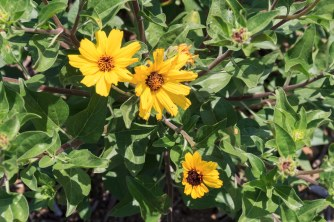 Yellow Daisylike Wildflower