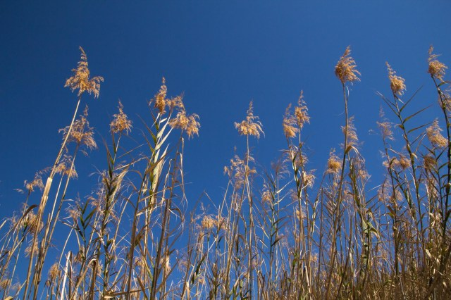 Golden-colored reeds against blue sky