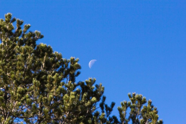 Juniper with half moon