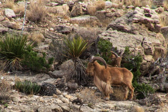 Barbary sheep on cliff