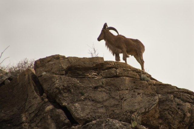 Barbary sheep standing sentry