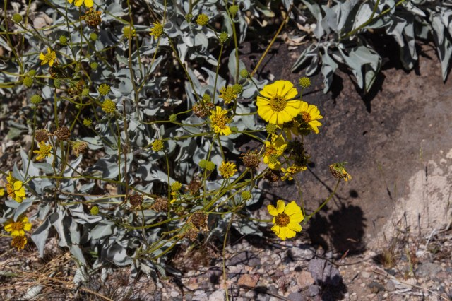 Yellow desert flower