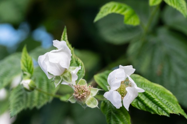Boysenberry blossoms on the bush