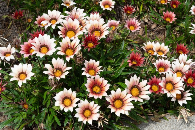 Many gerbera daisies in a flower bed