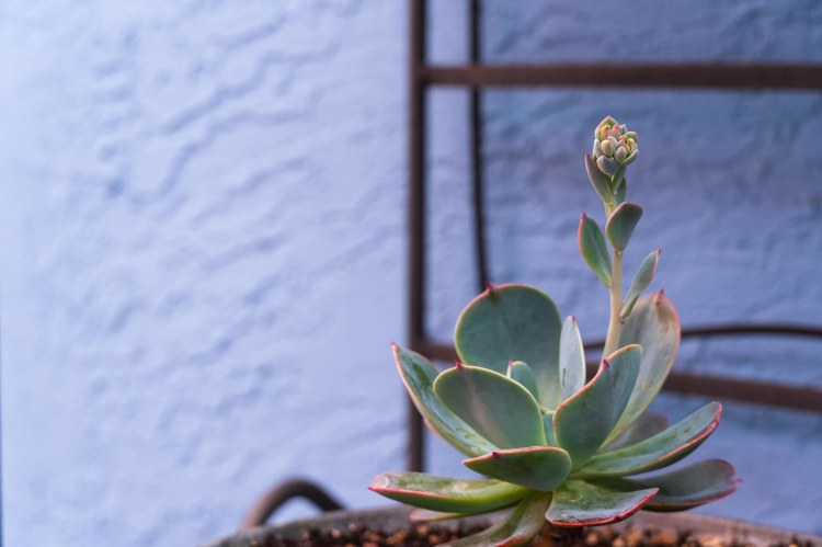 Blue rose succulent sprouting blooms