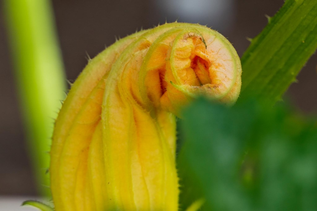 Closed yellow zucchini blossom