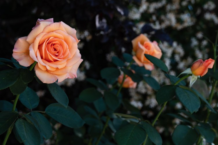Peach colored roses on bush