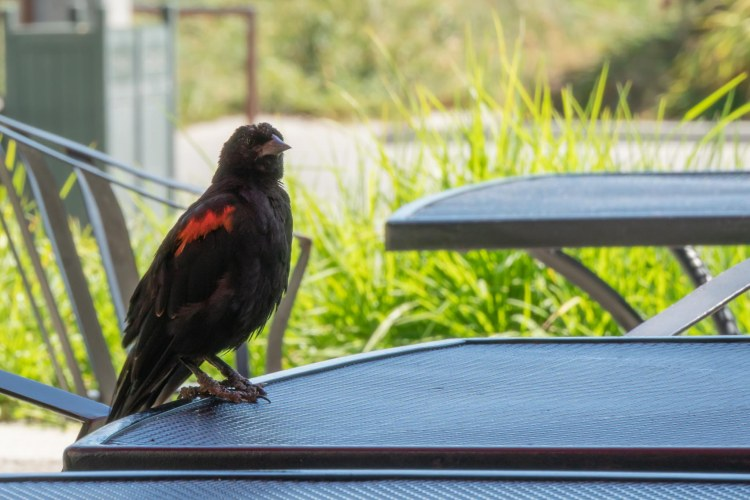 Black bird with red on shoulder standing on a table