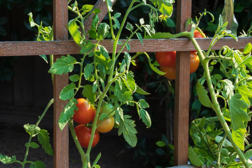 Tomatoes on the vine entwined on wood support