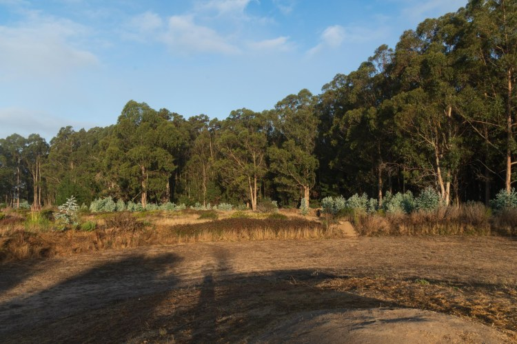 Stand of eucalyptus trees, tall grasses, and mowed are in foreground