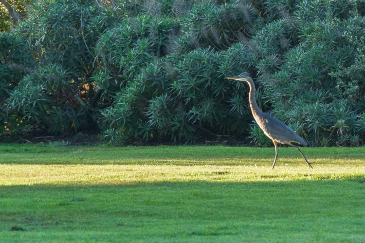 Great blue heron strutting across green grass