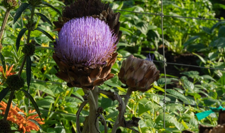 Purple thistle of a globe artichoke