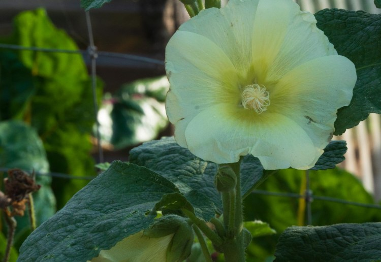 Yellow common hollyhock flower