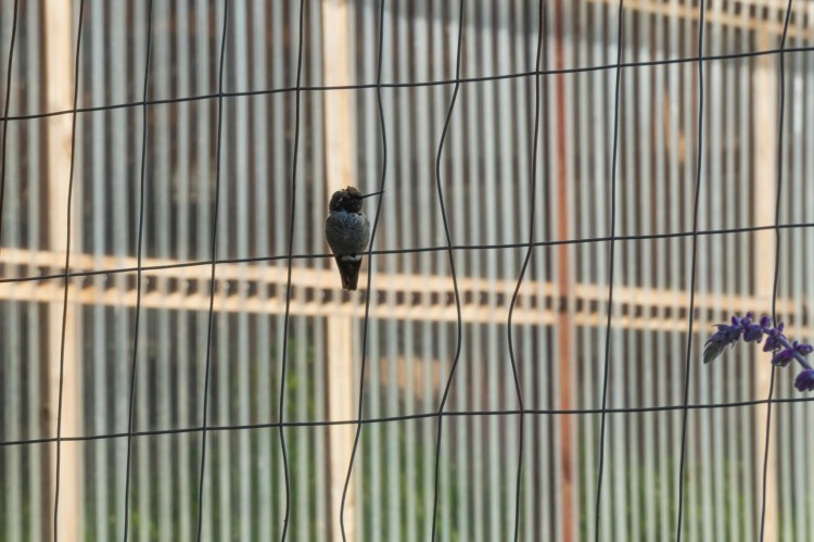 Humming bird sitting on a wire fence