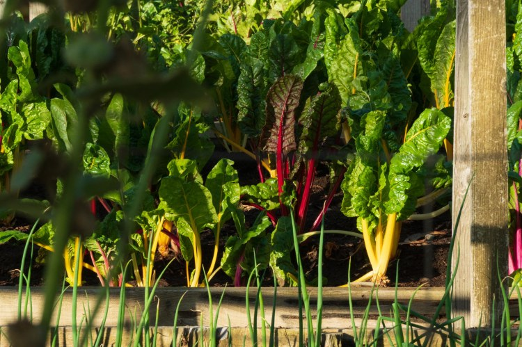 Vegetable garden of swiss and red chard