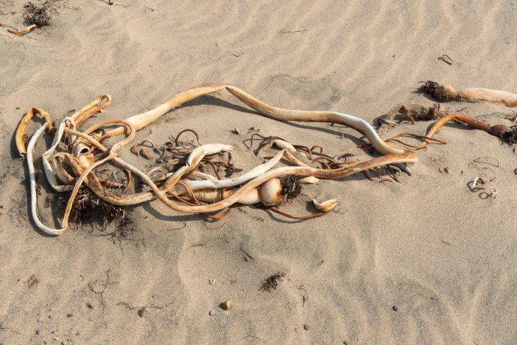 Dried bull whip kelp on sand