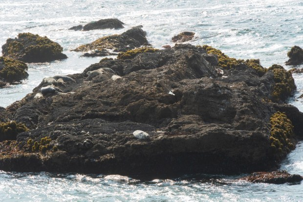 Harbor seals on rocky island