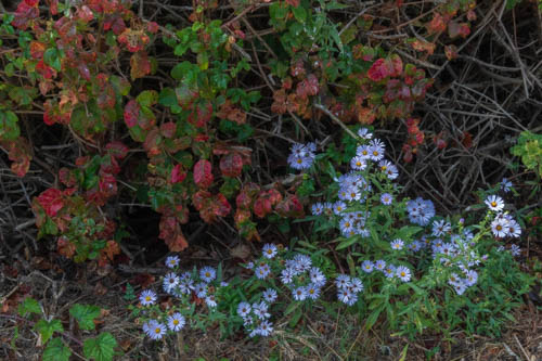 Poison oak and blue daiseys