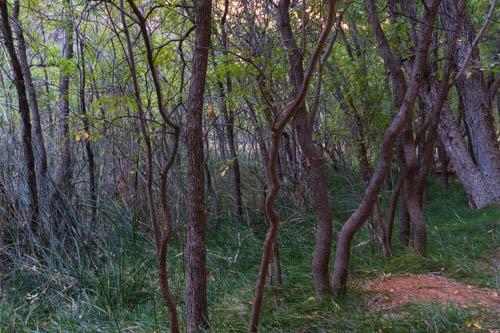 Skinny tree trunks growing in a swamp