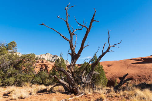 Dead Bristlecone pine tree against red rock formation and blue sky
