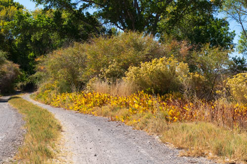 Yellowed plants lining a gravel trail