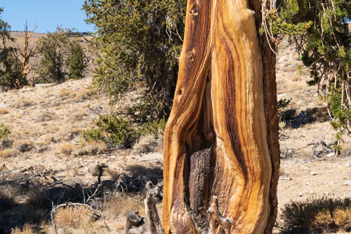 Fire damaged bristlecone pine tree trunk