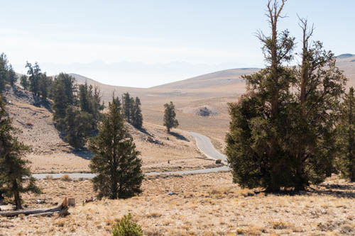 Landscape view of road cutting through bristlecone pines and golden hills