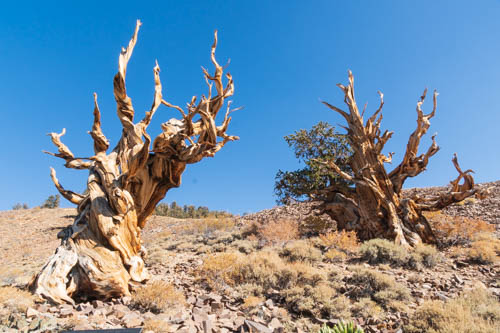 Ancient bristlecone pine trees