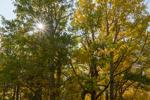 Sunburst shines through green and yellow tree leaves