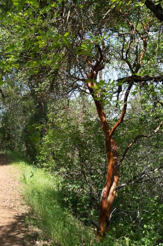 Manzanita tree on side of trail