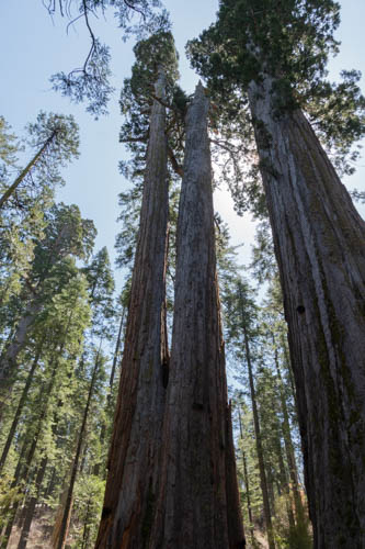 Two sequoias merged at 50 feet above ground