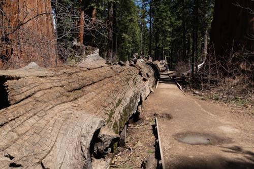 Fallen sequoia tree log