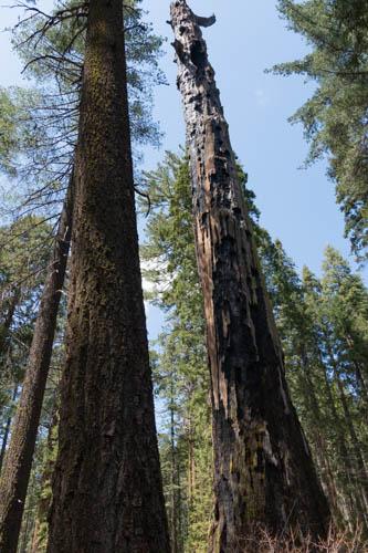 Burned sequoia after bark removed